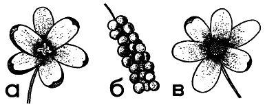 Рис. 3. Мужской (а) и женский (в) цветки лимонника, а также его плод (б)