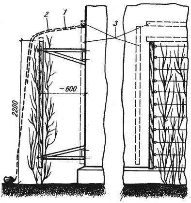 Рис. 6. Защита от заморозков лимонника, посаженного у стены дома